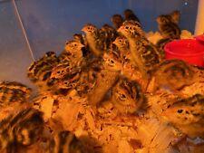 12 + Jumbo Pharoah Coturnix Quail Hatching Eggs