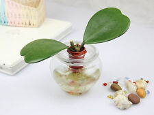 20 seeds of Hoya kerrii December orchid money Quanhua Valentine tree flower