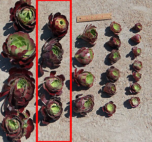 Succulent Aeonium Velour 70-80 mm cuttings Drought tolerant plant -20 cuttings