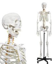 Human Skeleton Model For Anatomy Life Size Medical Human Skeleton