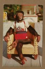 Monkey Jungle,South of Miami,FL Florida, Star of the Chimpanzee Show in chair