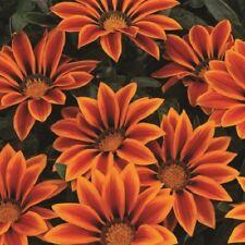 Gazania-Kiss naranja llama - 15 semillas