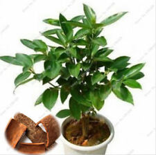 Cinnamon Seeds Indoor Plants Evergreen Tree Seeds Herb Traditional 10 Pcs