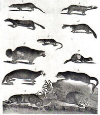 OTTERS & WEASELS original 1797 vintage hand painted engraving