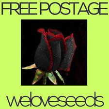 LOCAL AUSSIE STOCK - Blood Osiria Rose, Black Red Edge Stripe, Flower Seeds ~10x