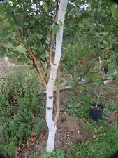 Silver Birch Tree Seed ~ Betula Pendula. 100 seeds. UK sourced guaranteed
