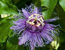 Frost Hardy Maypop (Passiflora incarnata) - 10 Fresh Seeds