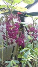 Dendrocnide moroides Most dangerous plant world Australia stinging nettle gympie