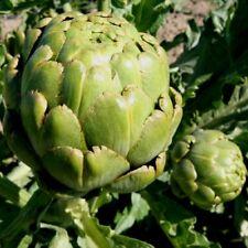 Vegetal Alcachofa VERDE GLOBO Italiano 50 gramos aprox 1,000 Semillas A GRANEL