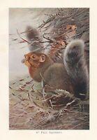 C1914 Natural History Estampado ~ St Paul Squirrel ~ Lydekker