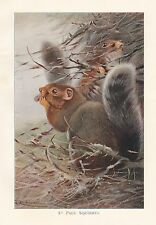 c1914 NATURAL HISTORY PRINT ~ ST PAUL SQUIRREL ~ LYDEKKER
