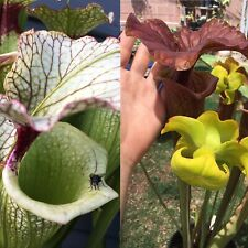 S-014 Leah Wilkerson x (Caramel Delight x Cinnamon Tube) - Sarracenia Seeds