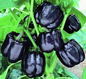 Seeds Sweet Bell Pepper Black Horse Giant Vegetable Organic Heirloom Ukraine