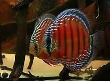 WILD CAUGHT RED DISCUS CICHLID SYMPHYSODON 3 INCHES PERFECT SPECIMEN