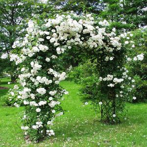 White Climbing Rose Seeds Flower Garden Plant Seedlings, (Buy 1 Get 1 15% Off)