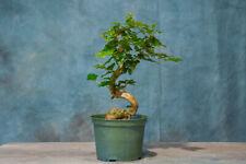 Clever Chinese Privet Pre-Bonsai Tree! Excellent Bonsai Material! Great Movement