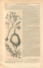 Picquotiane botanique Psoralea Esculenta Plante de Lamare-Picquot GRAVURE 1849