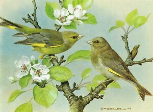Greenfinch Vintage Bird Picture Old Print Basil Ede 1980 BEB#35