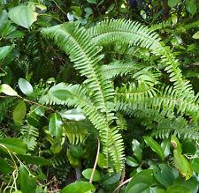 15 Live Sword Fern Plants Air Purifying House Plants