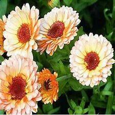 Calendula Pot Marigold- Pink Suprise- 50 Seeds - 50 % off sale