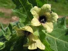 Hyoscyamus niger, black henbane, Nightshade  5 000 seeds