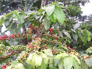 1 x 60cm Plant Arabica Coffee Tree (coffea arabica) Reliable,Viable