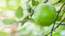 Huile essentielle de Citron vert (Limette) du Mexique - Pure et naturelle