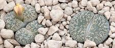Lithops lesliei  Kimberly form C 341 20 seeds