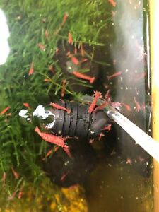 """16+2 Red Cherry Shrimp Neocaridina Java  Moss Included 1/4""""+ Home Bred"""