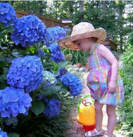 10 x Blue Hydrangea Flower Seeds Easy to Plant Blossoming Garden Present Decor