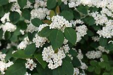 Cotoneaster multiflorus - 25 graines-arbuste-baies-couverture