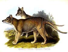 "Tasmanian Tigers 8.5x11"" Photo Print, John Gould Art Australian Mammal Marsupial"