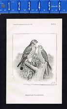 BIRD: American kestrel or Sparrow Hawk (Falco Sparverius) 1895 Lithograph