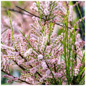 Tamarix tetrandra / Tamarisk / Salt Cedar, In 3L Pot Flowering Shrub