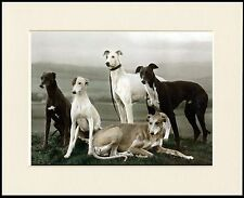 LOVELY GREYHOUND DOG GROUP FIVE DOGS LOVELY LITTLE MOUNTED PRINT READY TO FRAME