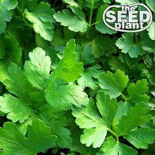 Plain Italian Parsley Seeds - 600 SEEDS-SAME DAY SHIPPING