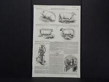 Illustrated London News 3s05/ Prize Winning Boar, Sheep, Ram, and Ewe/Aug 1844