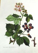 Lámina de Antigua Botánico Raíz Negra (Mulberry Salvaje) N º 60 fl2