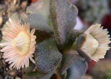 10x Aloinopsis rosulata Samen Garten Sukkulenten art Zimmer Pflanze Neu B651