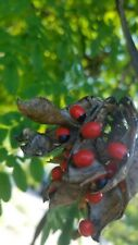 Rosary Pea Live Vine, Steel like vine with small leaves and beautiful red seeds