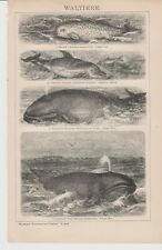1894 Whale Sperm Whale Dolphin Narwhal Antique Engraving Print F.Specht