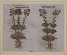 JOHN GERARD BOTANICA MATTHIOLI 1597 GIGLIO DI MONTAGNA