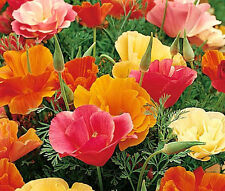 CALIFORNIA POPPY MISSION BELL Eschscholzia Californica - 5,000 Bulk Seeds