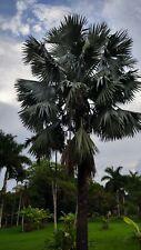 Live Bismarckia Nobilis Silver Bismarck Palm tree plant seedling