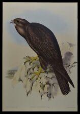 "John Gould Black Falcon Bird Limited Edition Print 21"" x 14.5"""