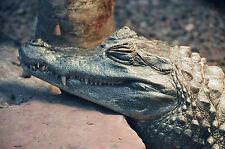 Caiman Crocodile POSTCARD Animal Reptile Steve Greaves Print Art Card Alligator