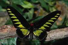 720090 Birdwing Butterfly Trogonoptera Brookiana Malaysia A4 Photo Print