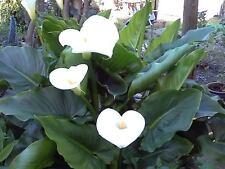 25 WATER ARUM Water Dragon Wild Calla Palustris Wetland White Flower Seeds +Gift