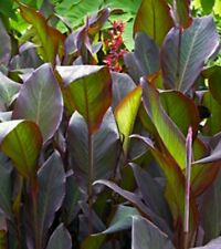 2 Canna lily Red Stripe Tall Bronze green large foliage bulbs tubers Rhizomes