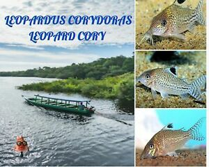 """6/12/18 Leopardus """"leopard"""" Corydoras wild with free shipping continental US"""